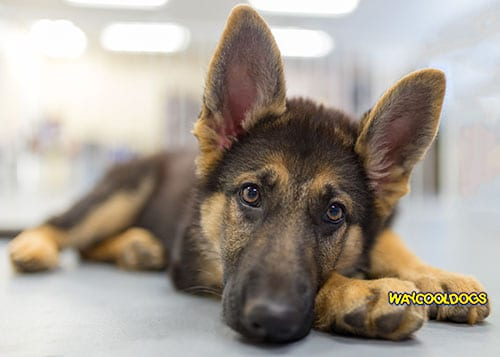 Remedies For Ear Mites In Dogs Waycooldogs Com